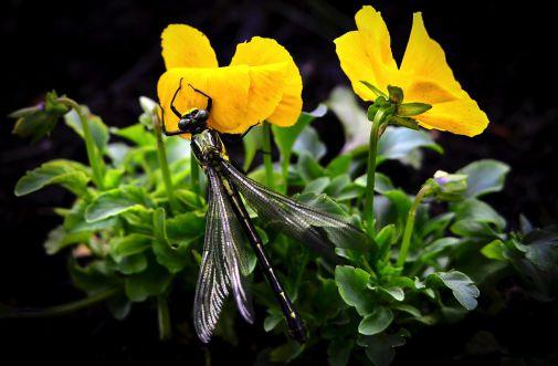 dragonfly-820378_960_720.jpg